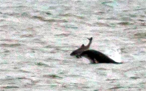 Dolphin Kills Porpoise
